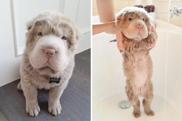 Cho dù bảnh bao trải chuốt hay ướt nhẹp thì chú cún này trông vẫn rất đáng yêu.