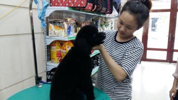 Dịch vụ tỉa lông chó poodle